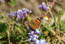 A Colored Butterfly Sits On A Flower In Tall Grass And Drinks Sweet Nectar. Summer In Israel