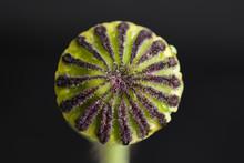 Poppy Seed Pod