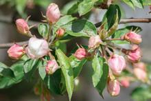 The Apple Tree Begins To Bloom