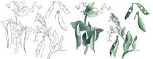 Green Peas Plant. Watercolor I...