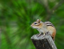 Chipmunk Sitting On Wooden Post