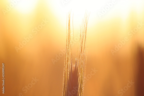 Foto Close-up Of Wheat Crops During Sunset