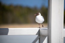 A Small Black-headed Gull Standing On One Foot On Wooden Railing.