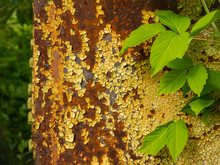 The Background Looks Like An Old Rusty Metal Industrial Oil Tank With Maple Leaves In The Foreground. Many Times The Painted Old Metal Surface Is Destroyed By Corrosion And Precipitation.
