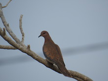 Mourning Dove Perching On Branch Against Sky