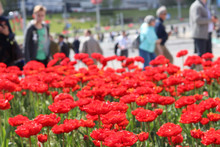 Daylight. Bright Sun. Red Tulips Have Blossomed. Red Carpet