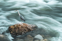 Heron Bird Standing On The Shore Above Strong, Foamy River Sava Current On The Ouskirts Of Zagreb City, Croatia, Preying Fish
