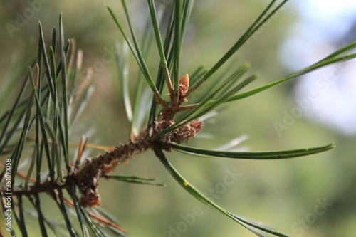 Fototapeta close up of pine cones obraz na płótnie