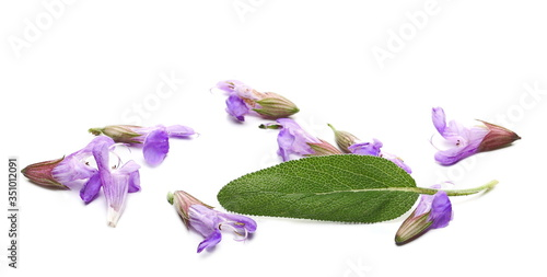 Obraz Mealy sage flowers blooming with leaves, Salvia farinacea, Blue salvia isolated on white background - fototapety do salonu