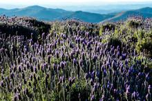 Purple Wildflowers In Field