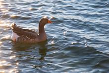 High Angle View Of Greylag Goose Swimming On Lake