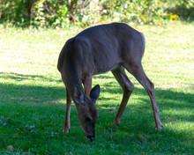 Female Whitetail Deer Under Fruit Tree Seeking Fruit
