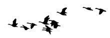 Panoramic View Of Geese Flying...