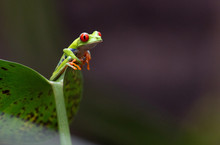 Frog, Red-eyed Tree Frog, Costa Rican Frog