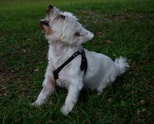 West Highland White Terrier Looking Up On Grassy Field
