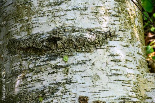 Kora brzozy - 351027810