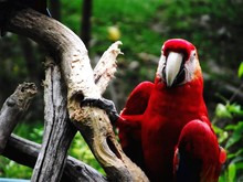 Scarlet Macaw Perching On Tree
