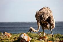 African Ostrich Eats Grass And...