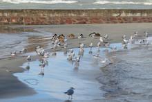 Seagulls And Wild Ducks Lie On...