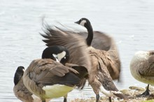 Canada Geese Standing At Lakeshore