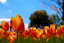 Close-up Of Orange Tulips Blooming On Field Against Sky