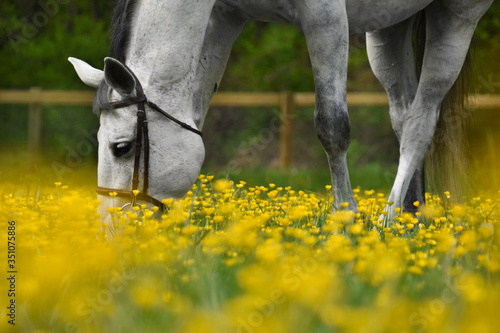 Photo White horse in yellow buttercup field