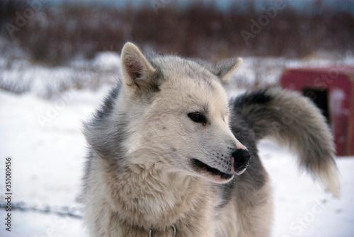 Obraz na plátně Close-up Of Canadian Eskimo Dog Standing On Snowfield
