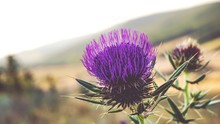Close-up Of Thistle Blooming On Field Against Sky