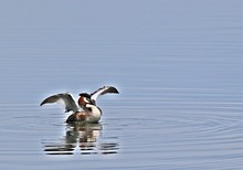 Great Crested Grebe Swimming In Lake