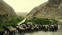 Flock Of Sheep In Dirt Road