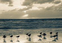 Black-necked Stilt At Sea Shore Against Cloudy Sky At Sunset