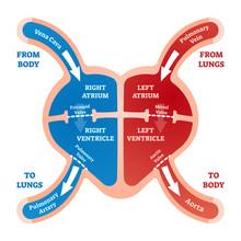 Heart Blood Flow Vector Illustration. Labeled Cardiology System Explanation