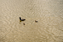 Young Coots Float On Water.