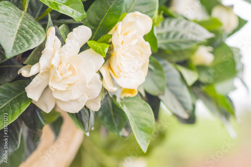Summertime. close up of jasmine flowers in a garden Canvas Print