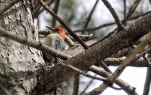 Low Angle View Of Red-bellied Woodpecker Perching On Tree