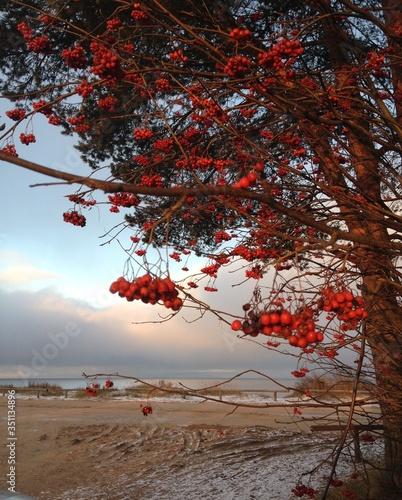 Fotografija Autumn mountain ash tree on the shore of Lake Ladoga