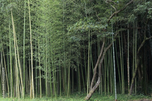 Tela Bamboos And Trees Growing On Field