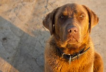 Brown Labrador Looks Seriously And Somehow Angrily At The Camera During His Morning Walk