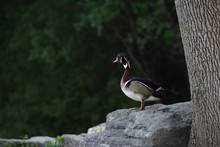 Close-up Of Duck On Rock
