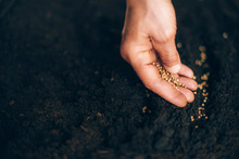 Hand Growing Seeds On Sowing S...