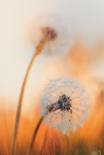 Dandelion Flower With Shallow Focus, Abstract Spring Color Tone For Natural Background. Springtime Symbol