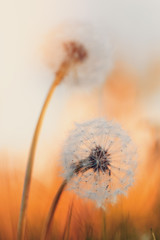 Panel Szklany Podświetlane Do salonu Dandelion flower with shallow focus, abstract spring color tone for natural background. Springtime symbol