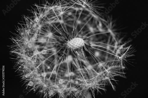 Fototapety, obrazy: Close-up Of Dandelion