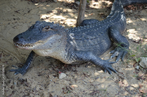 Photo High Angle View Of Alligator On Field