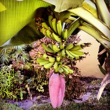 Bunch Of Bananas Hanging From Tree