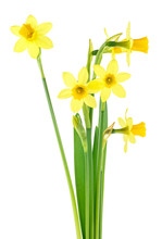Beautiful Fresh Daffodils Flow...