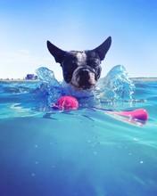 Portrait Of Boston Terrier In Sea Against Clear Sky