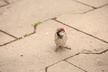Sparrow On A Street Paving Slab
