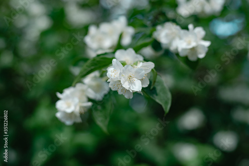 Detail of a jasmine flowers plant in the forest Canvas Print