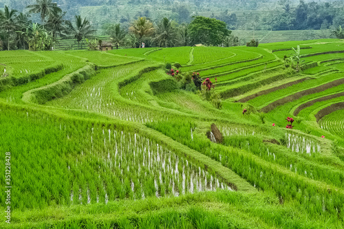 Fototapety, obrazy: Panorama view on rice terraces Jatiluwih